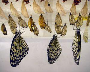 butterfly cocoon.jpg